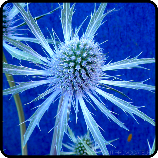 |Eryngium 'Sapphire Blue' flower detail|