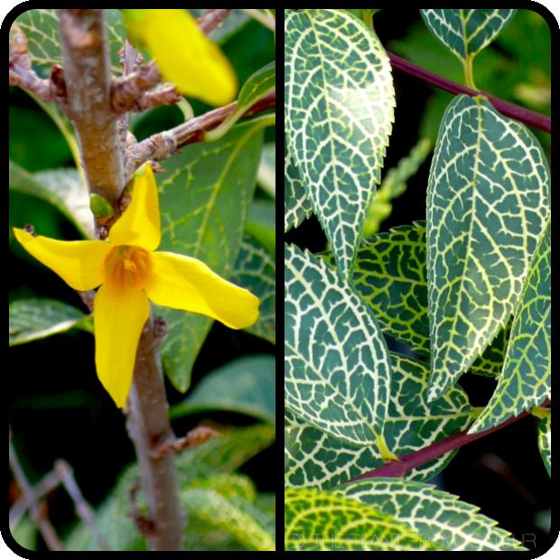 |Forsythia viridissima koreana 'Kumson' profile|