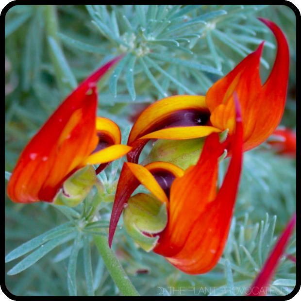 |Lotus 'Amazon Sunset' bloom detail|