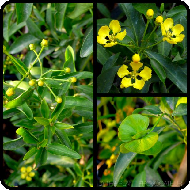 |Callaeum macropterum profile|
