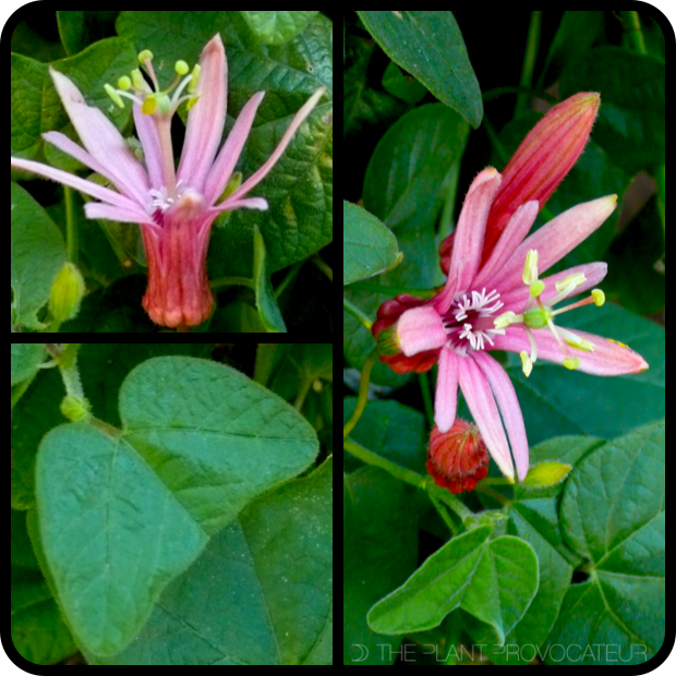 |Passiflora sanguinolenta profile|