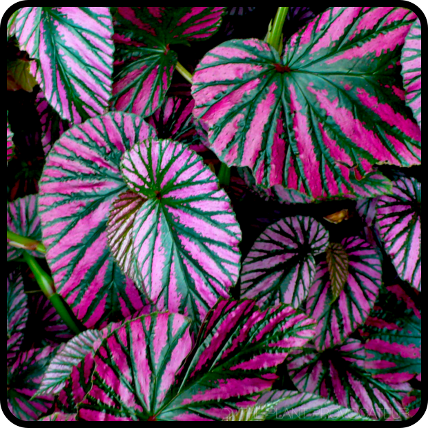 |Begonia brevirimosa foliage profile|