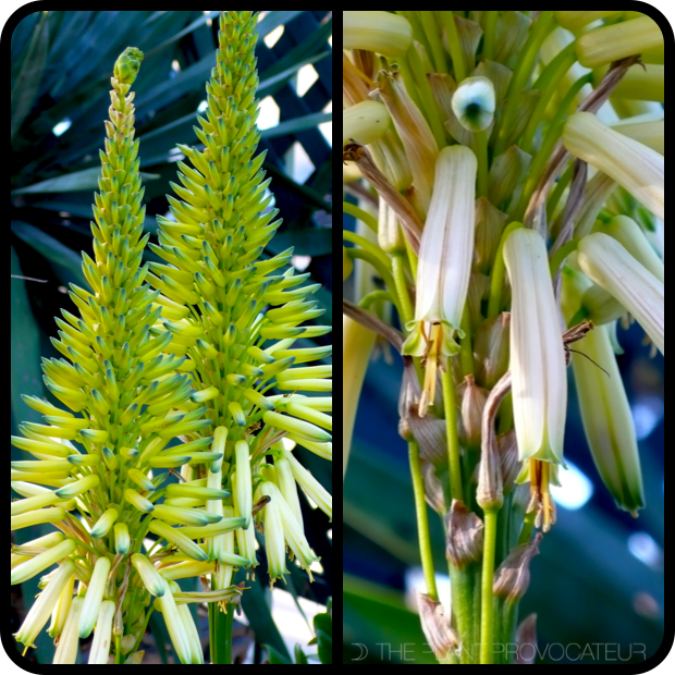 |Aloe 'Yellow Torch' floral detail|