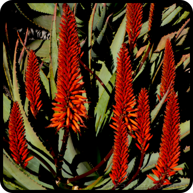 |Aloe ferox bloom spikes|