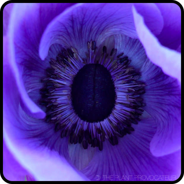 |Close-up of Anemone coronaria 'Mona Lisa Deep Blue' flower|