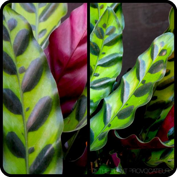  Calathea lancifolia detail 