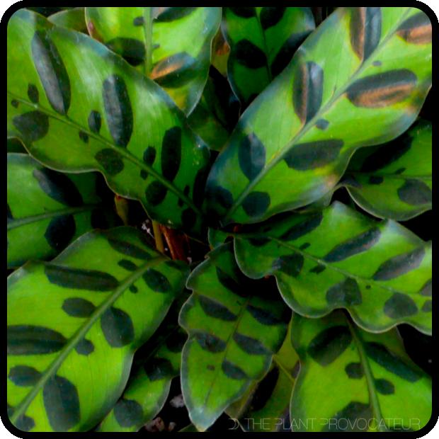  Calathea lancifolia profile 