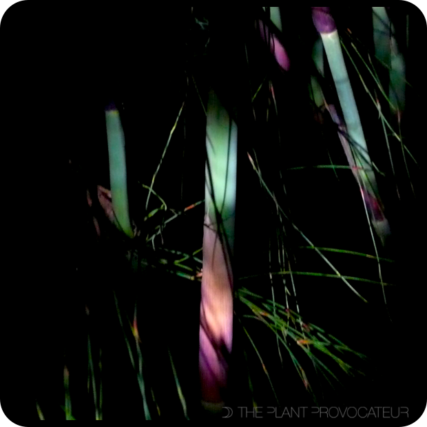 |Chondropetalum tectorum Night Moves|
