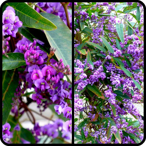 |Hardenbergia 'Walkabout Purple' details|