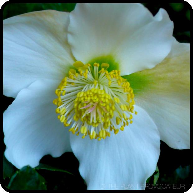 |Helleborus niger 'HGC Jacob' floral profile|