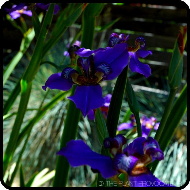|Neomarica caerulea in a shady situation|