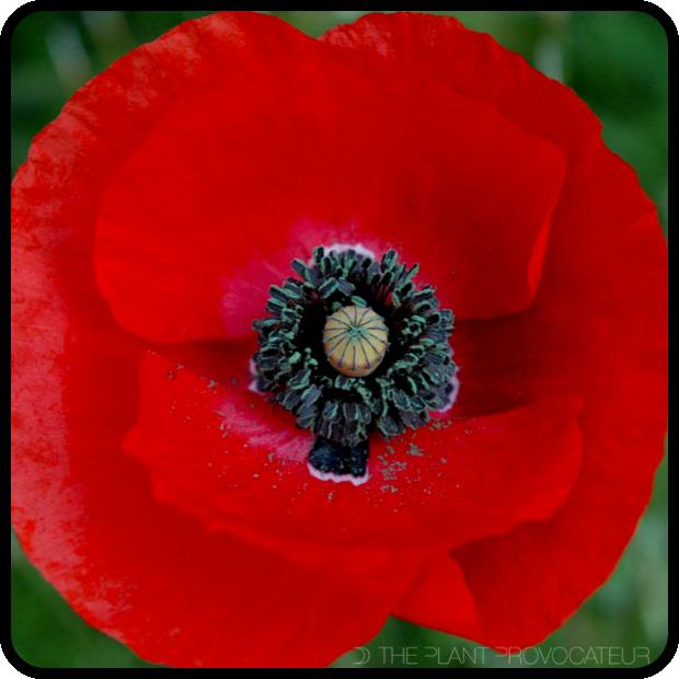 |Papaver rhoeas 'Red Flanders' Flower|
