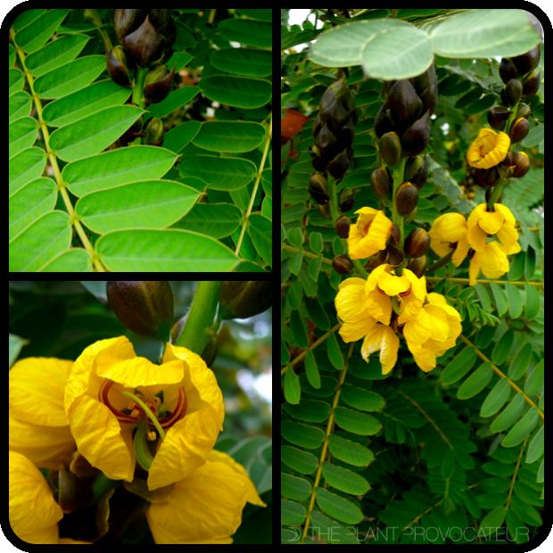 |Senna didymobotrya foliage, bud, and form|