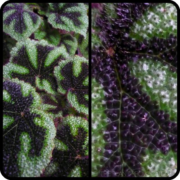 |Begonia masoniana foliage profile|