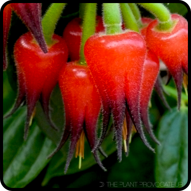  Ceratostema silvicola floral profile 