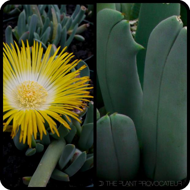 |Cheiridopsis candidissima flower + foliage|