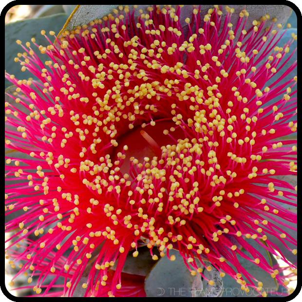  Eucalyptus macrocarpa floral detail 