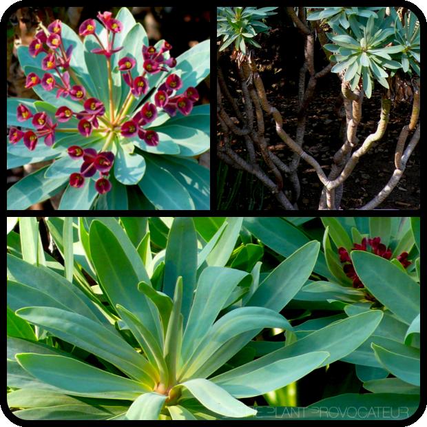 |Euphorbia atropurpurea flower, form, and foliage|