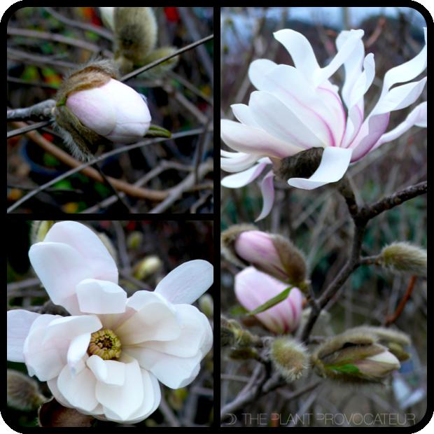  Magnolia stellata 'Royal Star' bud + bloom 