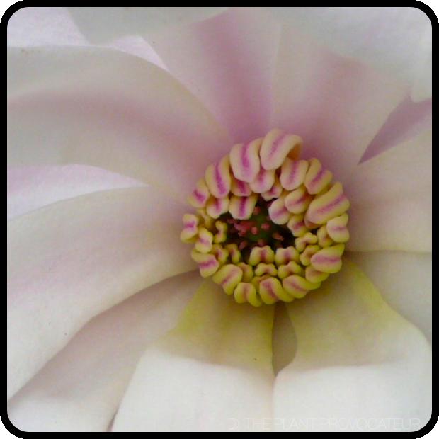  Magnolia stellata 'Royal Star' floral detail 