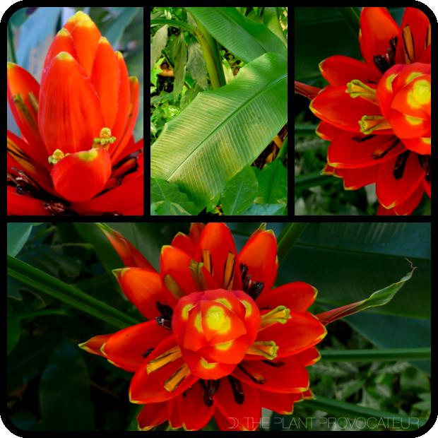 |Musa uranoscopus foliage + flowers|
