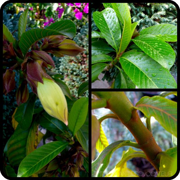 |Beaumontia grandiflora details|