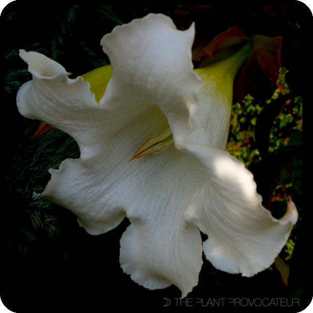 |Beaumontia grandiflora floral profile|
