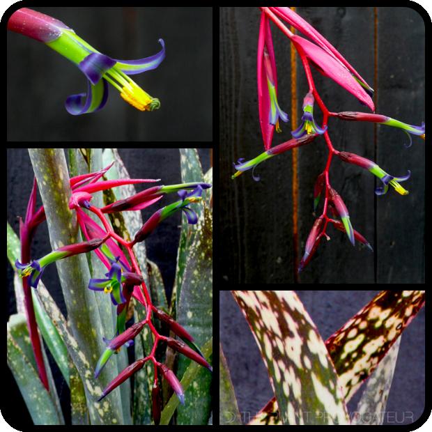 |Billbergia 'Fantasy Island' flower + foliage + form|