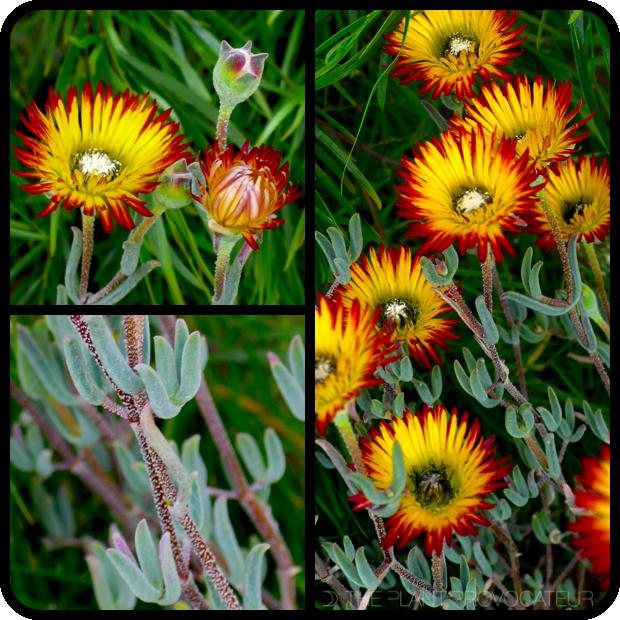 |Drosanthemum micans flower + foliage + form|