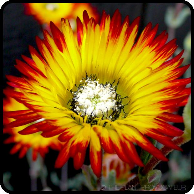 |Drosanthemum micans floral detail|