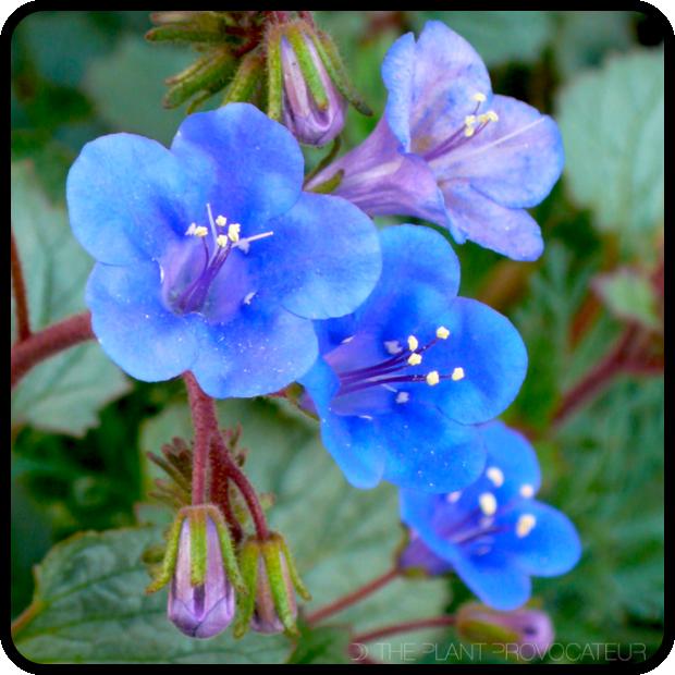 |Phacelia campanularia details|
