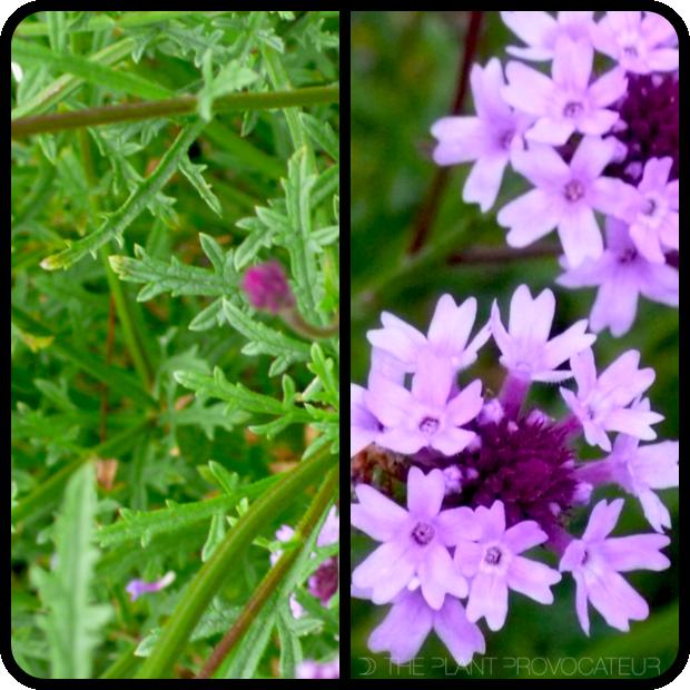 |Verbena lilacina 'De La Mina' foliage + flower|