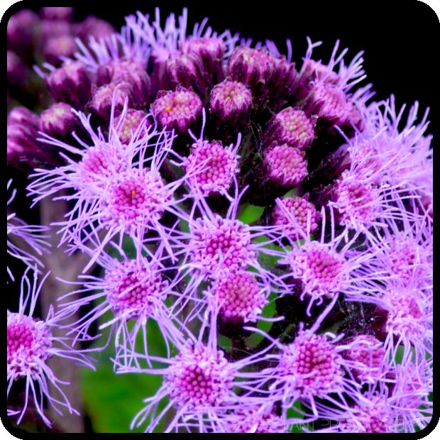  Bartlettina sordida foliage + flower 