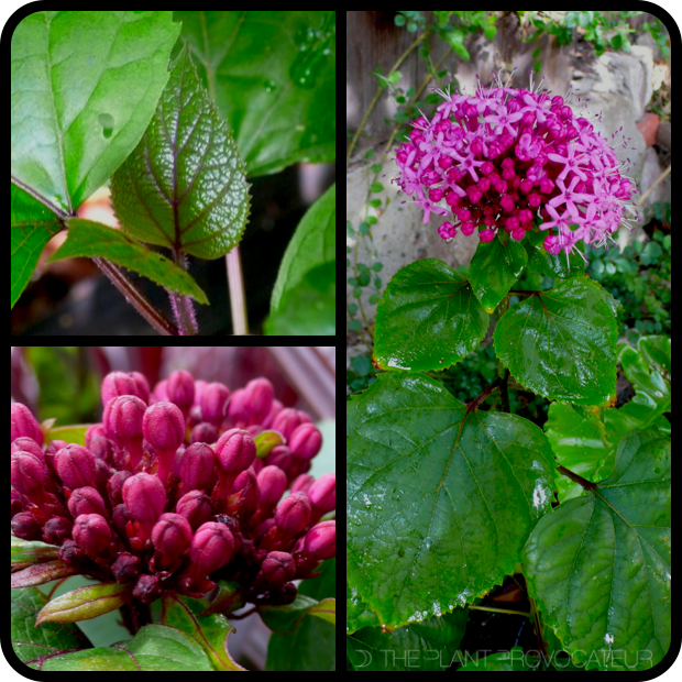 |Clerodendrum bungei foliage + form + flower|