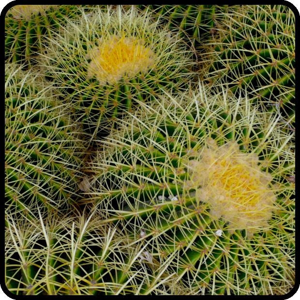 |Echinocactus grusonii 'Golden Barrel' profile|