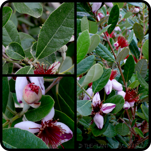 |Feijoa sellowiana profile|