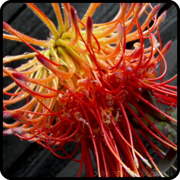  Leucospermum reflexum flower detail 