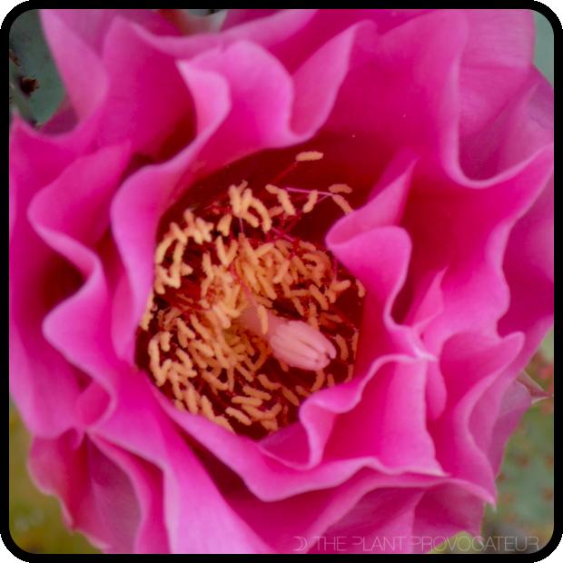 |Opuntia basilaris x violacea floral detail|