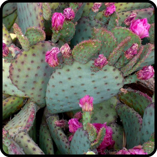 |Opuntia basilaris x violacea form|
