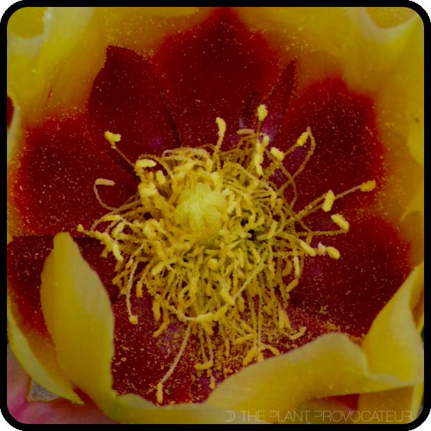 |Opuntia macrocentra subsp. macrocentra floral detail|