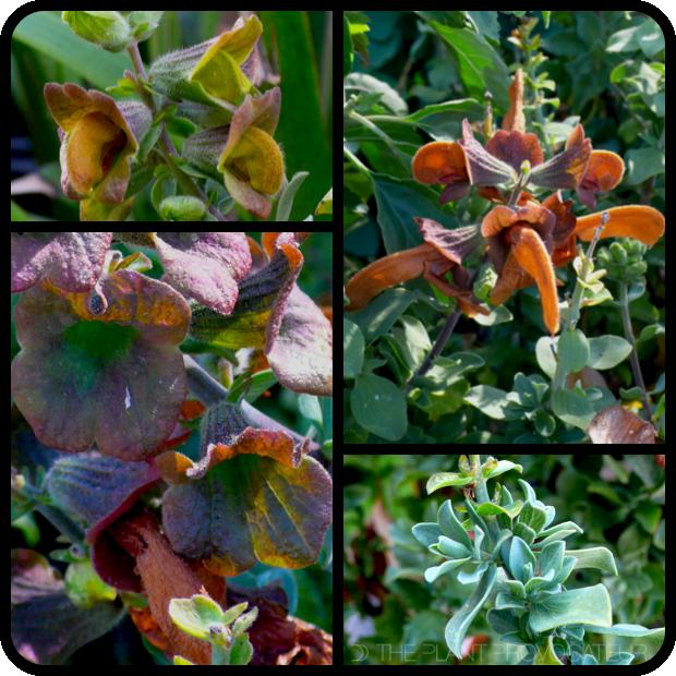 |Salvia africana-lutea details|