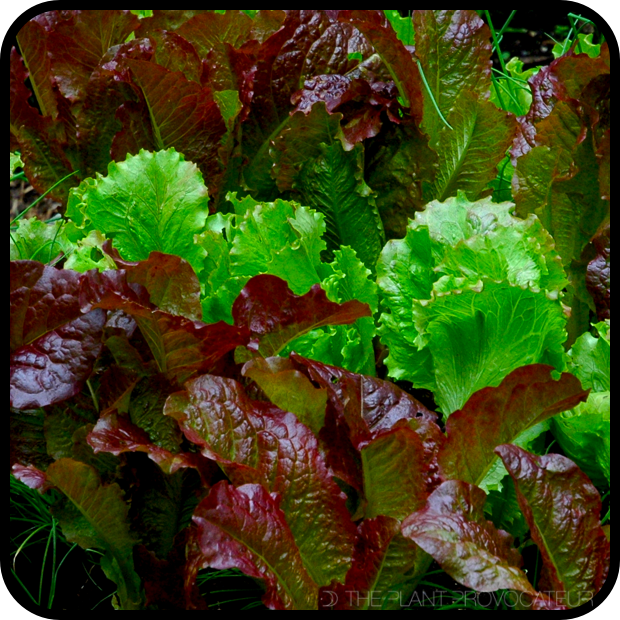  Homegrown Salad Lettuce Leaves 