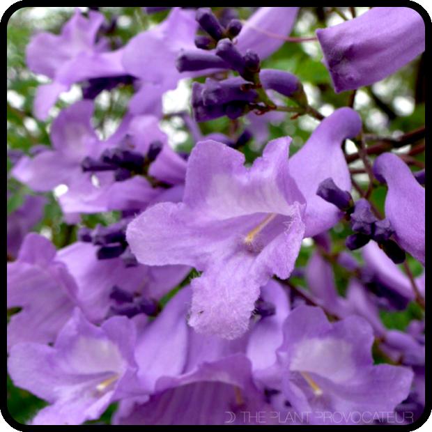 |Jacaranda mimosifolia floral profile|