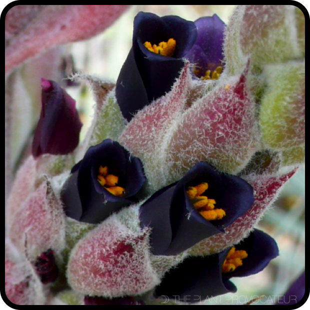 Puya coerulea var. coerulea floral detail 