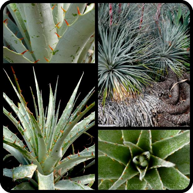  Puya coerulea var. coerulea form + foliage 