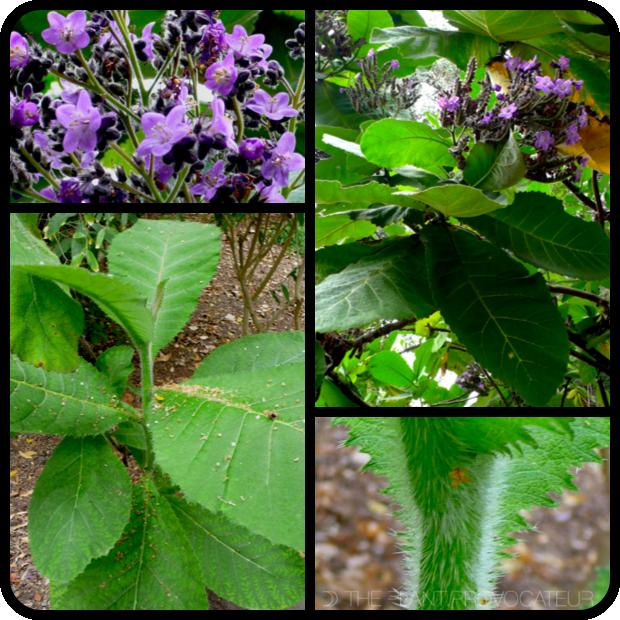 |Wigandia urens flower + foliage + form|