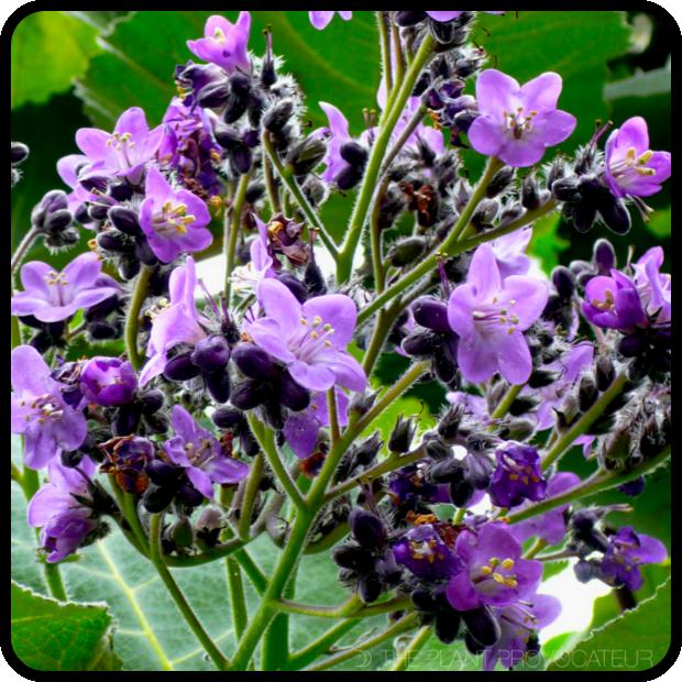 |Wigandia urens in bloom|