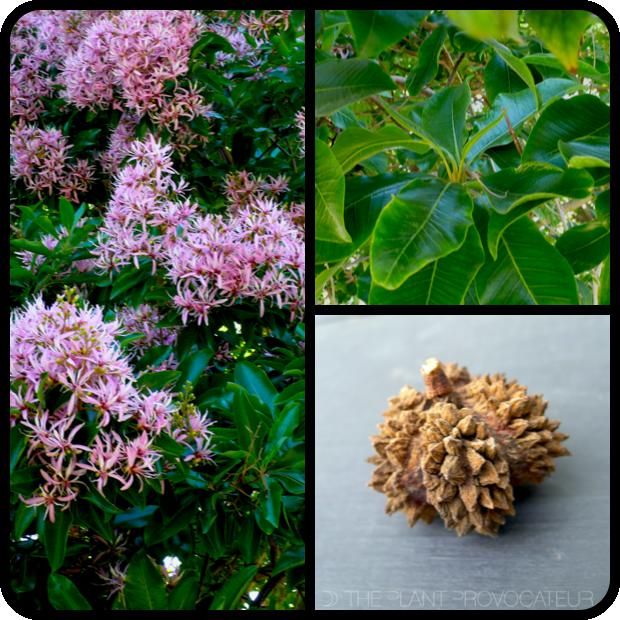  Calodendrum capense form + foliage + pod 