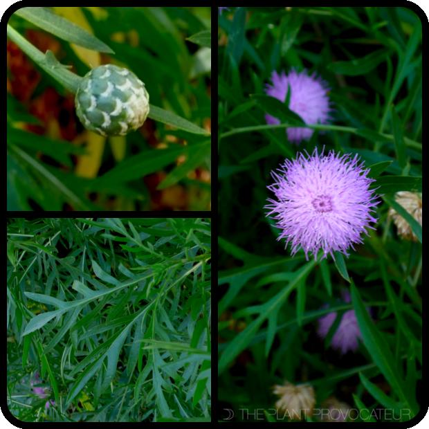 |Cheirolophus canariensis bud + form + foliage|