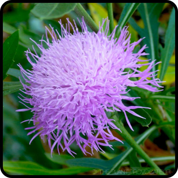 |Cheirolophus canariensis floral detail|